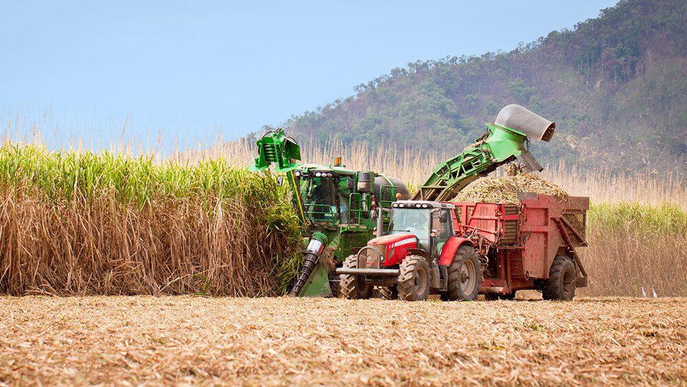 Sugar Cane Harvested for Rum