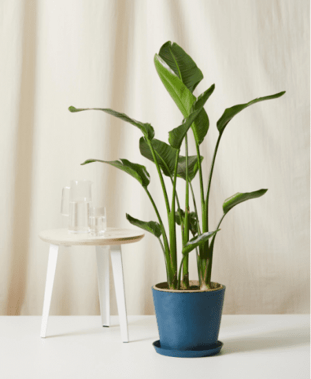 Bird of Paradise Office Plant from Bloomscape